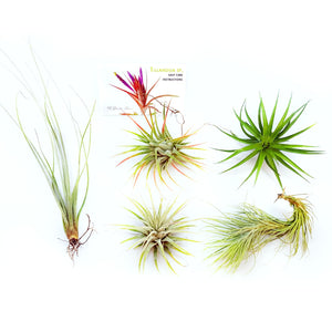 "Air Plant Variety Pack (5, Small 1-2"")"