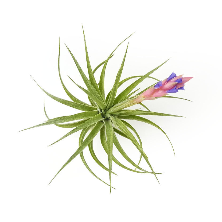 Aeranthos Air Plants
