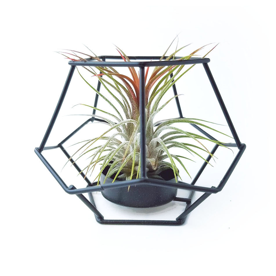 Black Geometric Air Plant Holder with Plant