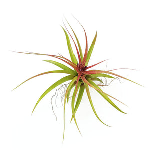 Brachycalous Hybrid Air Plants