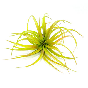 Brachycalous Select Air Plants