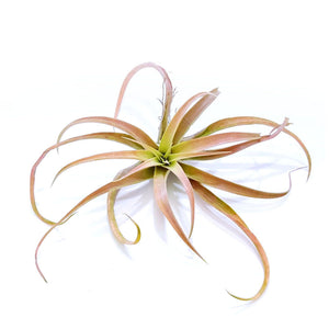 Capita Peach Air Plants