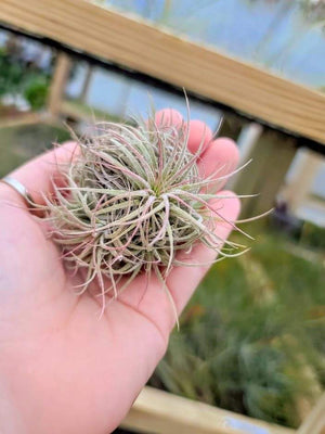 Sellers Choice - Ionantha Clump