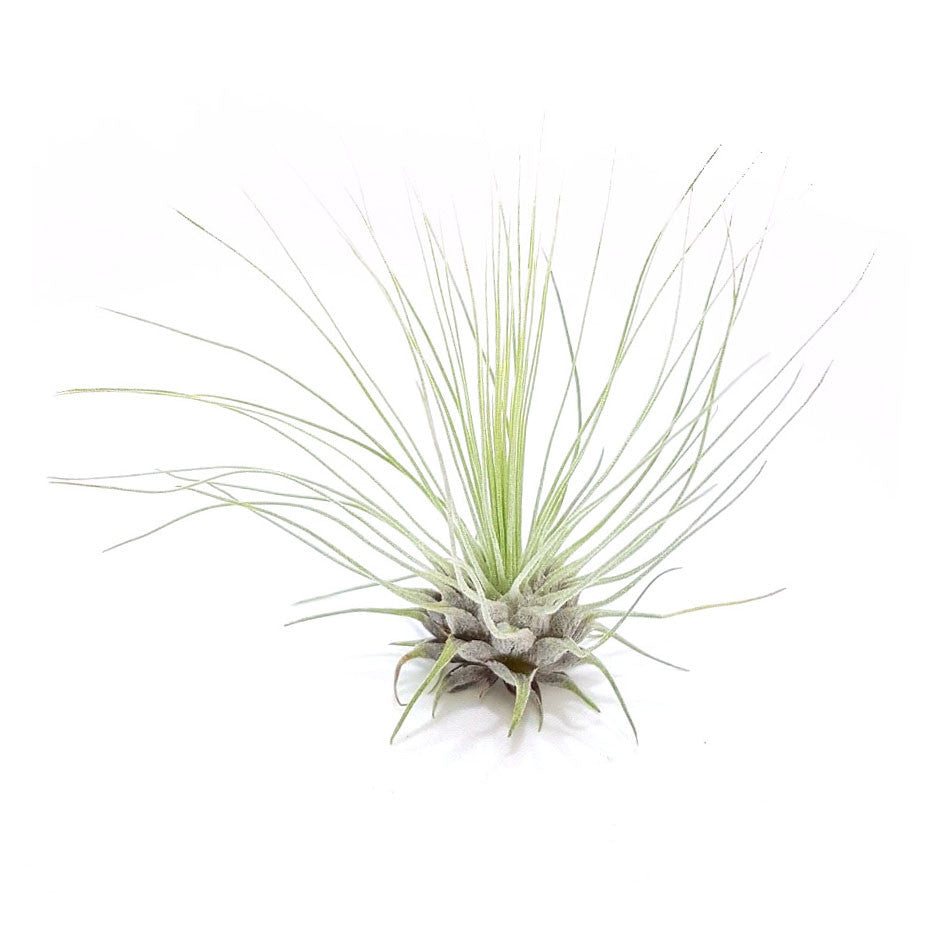 Fuchsii Air Plants