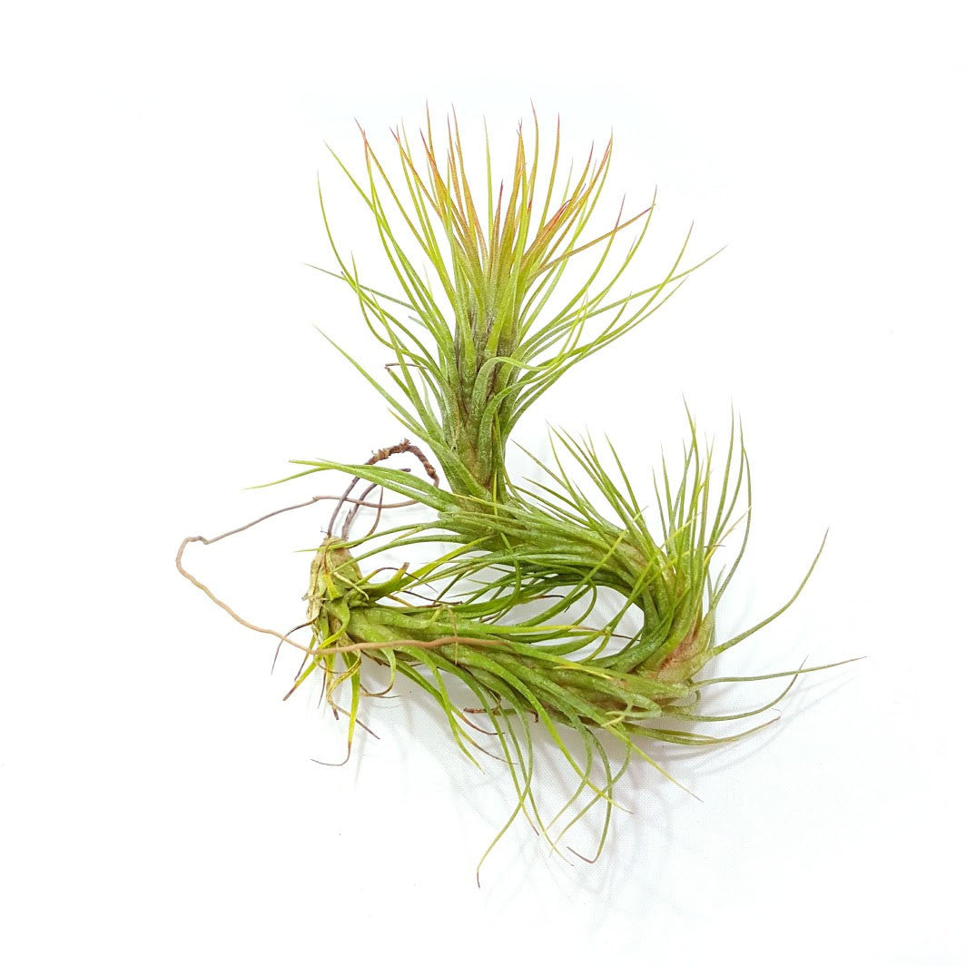 Funkiana Air Plants