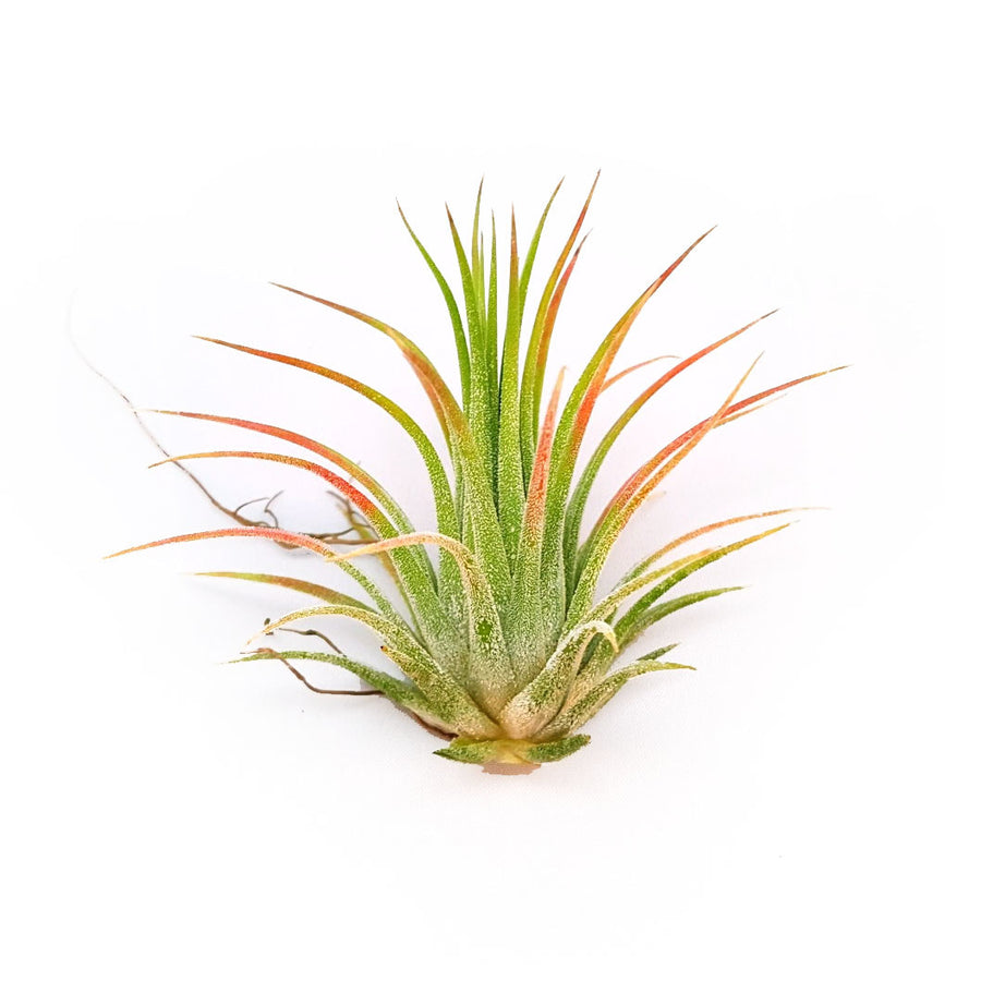 Io. Rubra Air Plants