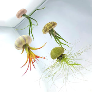 "Air Plant Variety Pack (10, Small 1-2"")"