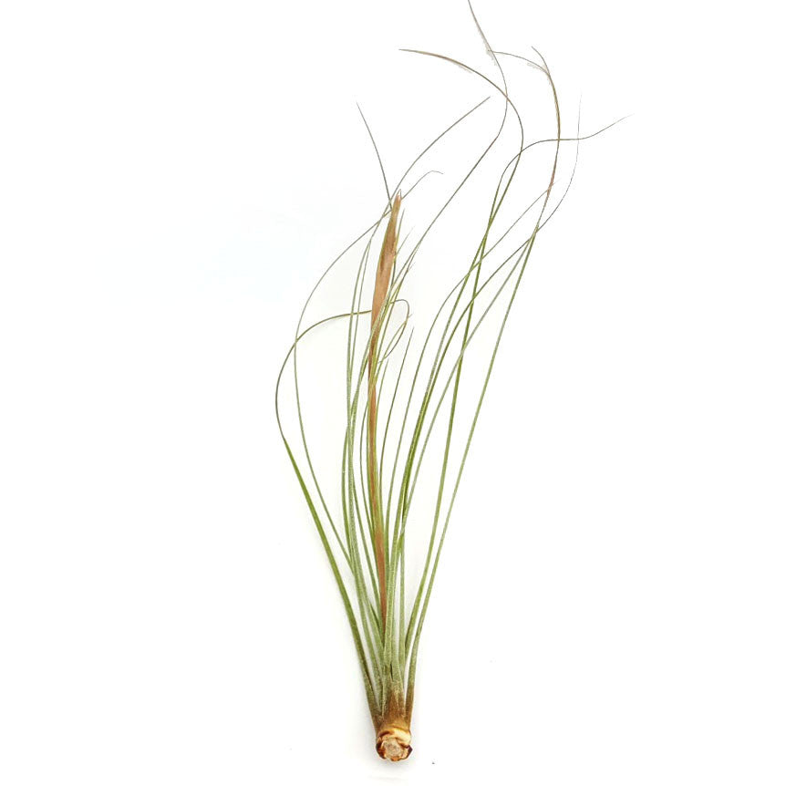 Juncea Air Plants