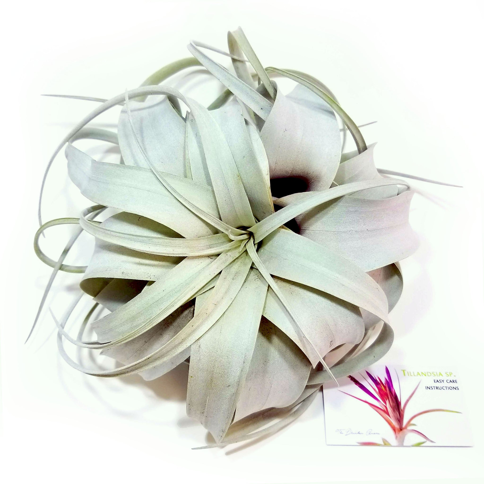 Xerographica Air Plants Thedrunkengnome