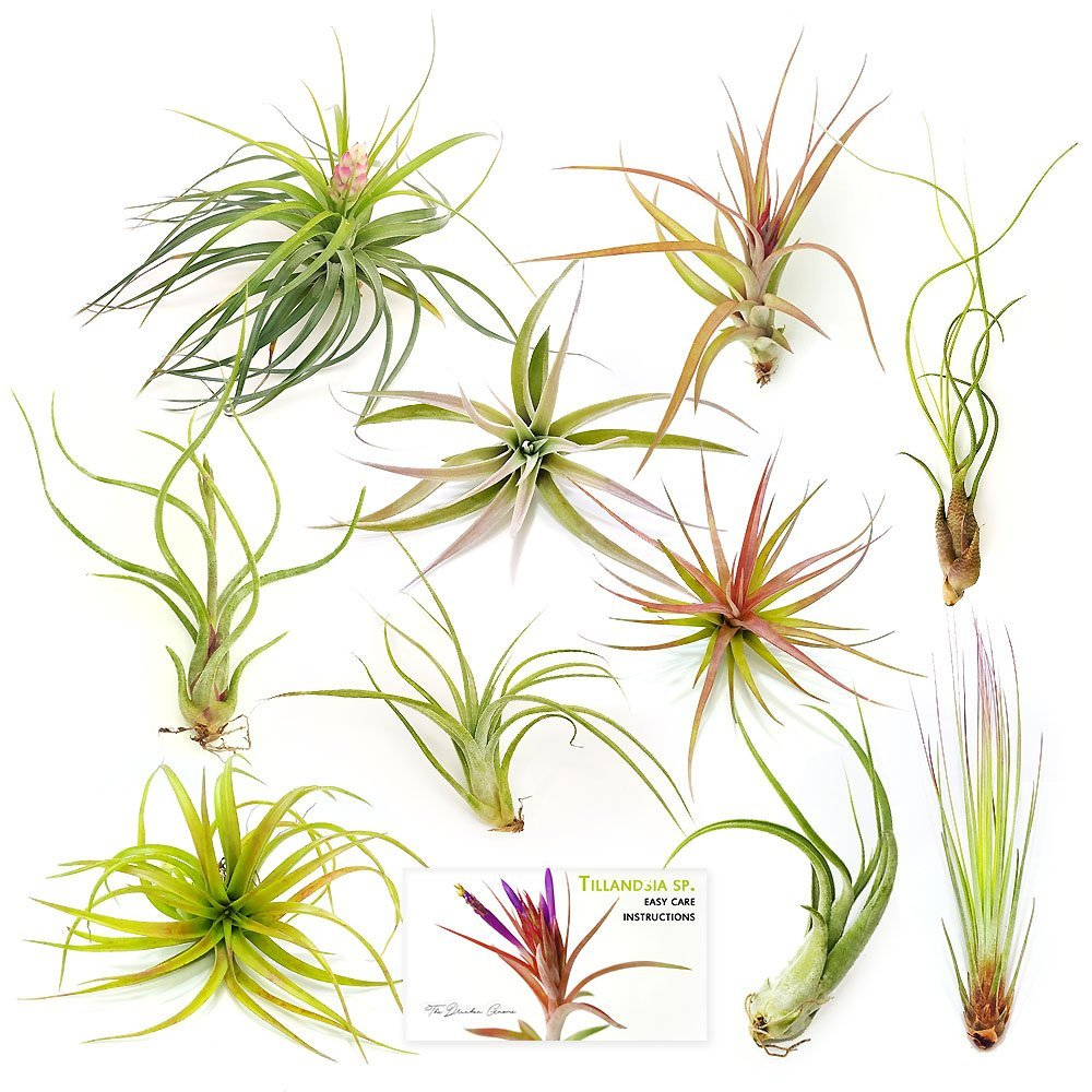 "Air Plant Variety Pack (10, Large 4-5""+)"