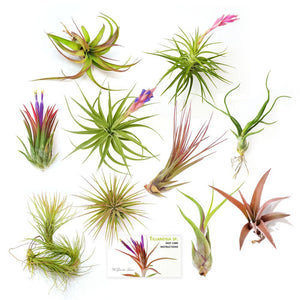 "Air Plant Variety Pack (10, Medium 3""+)"