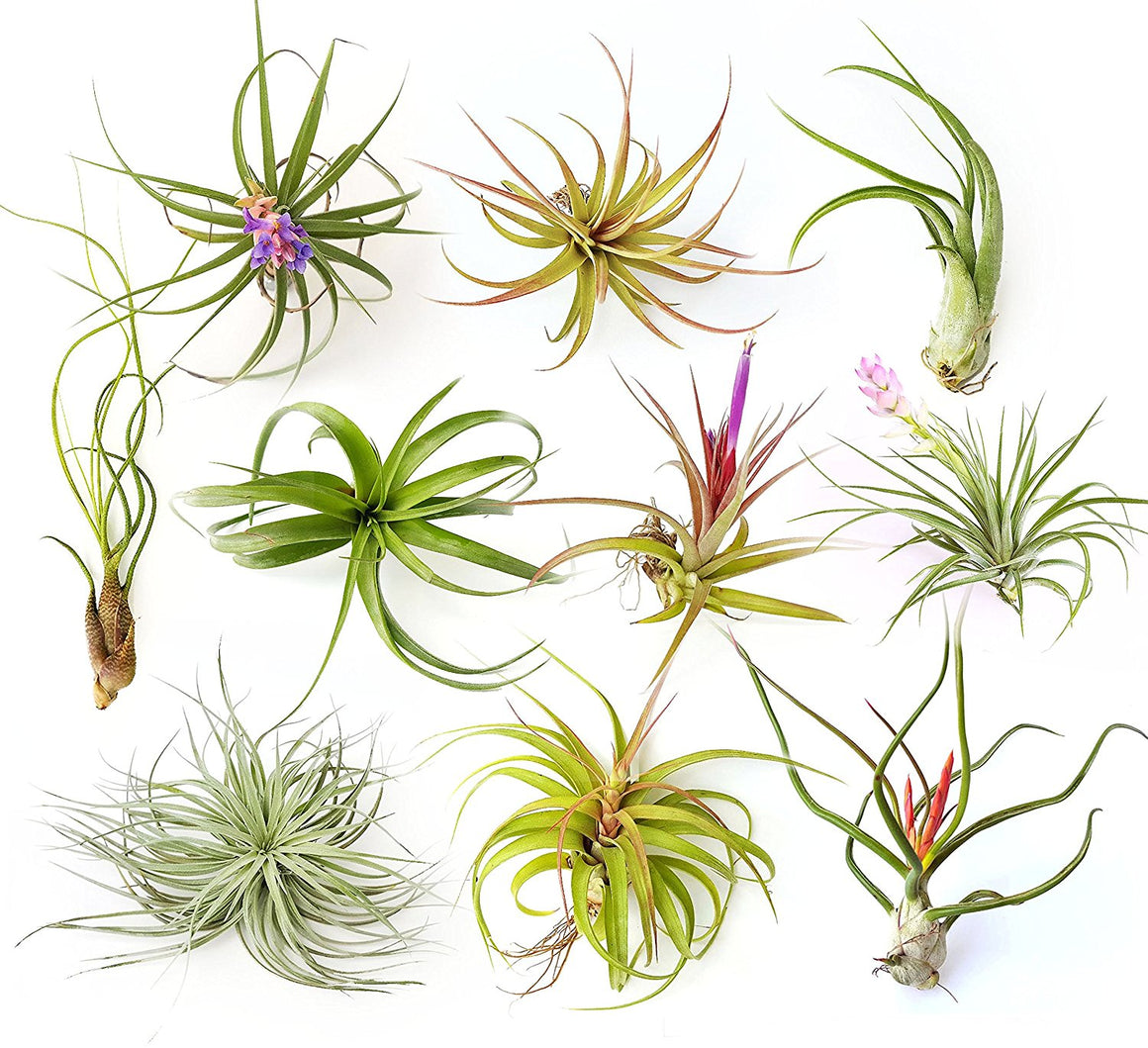 "Air Plant Variety Pack (10, X-Large 6""+)"