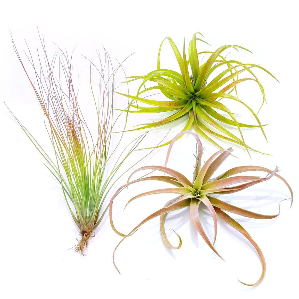 "Air Plant Variety Pack (3, X-Large 6""+)"