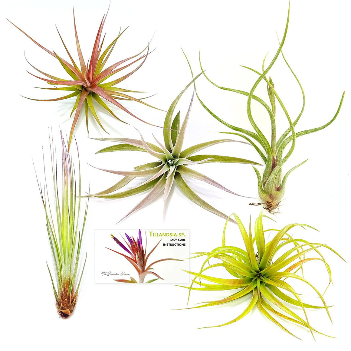 "Air Plant Variety Pack (5, Large 4-5""+)"