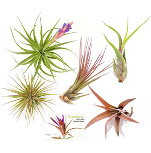 "Air Plant Variety Pack (5, Medium 3""+)"