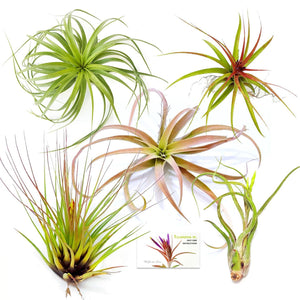 "Air Plant Variety Pack (5, X-Large 6""+)"