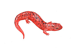 Salamander Paintings and Illustrations