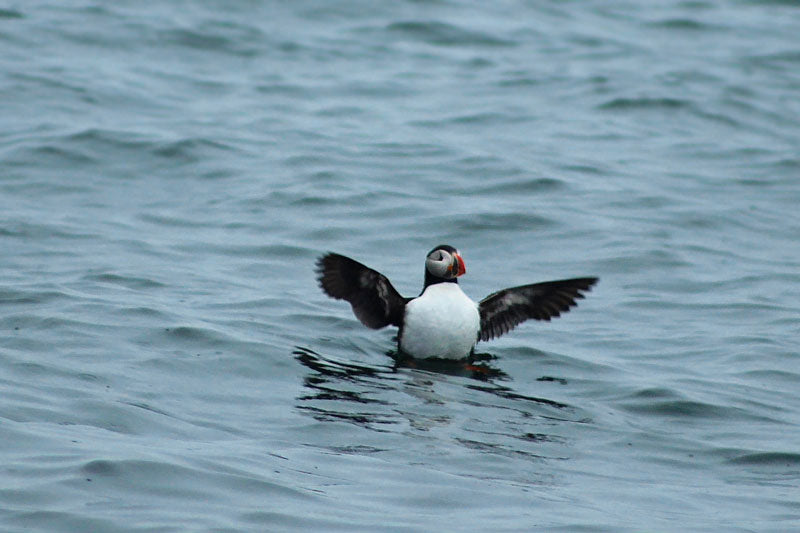 Swimming Puffin Eastern Egg Rock