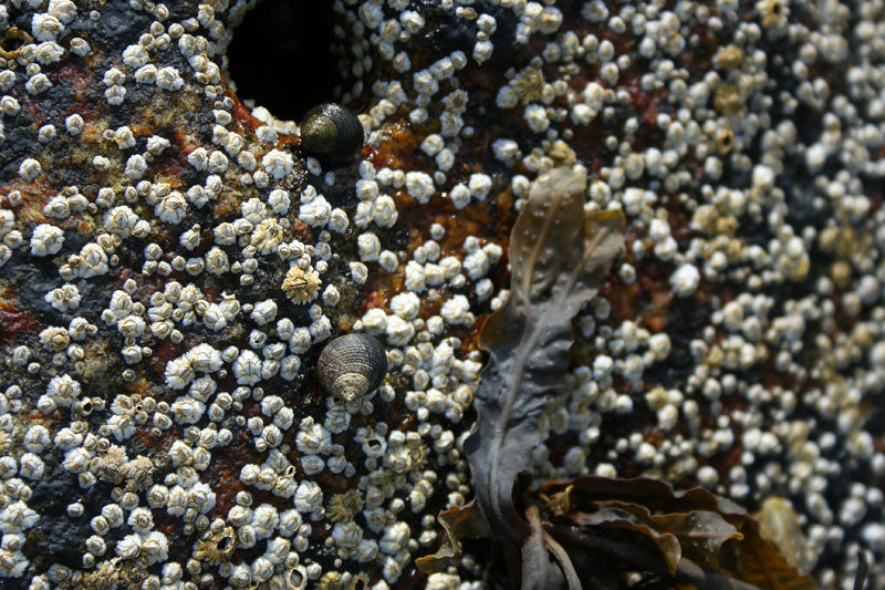 Periwinkles and Barnacles