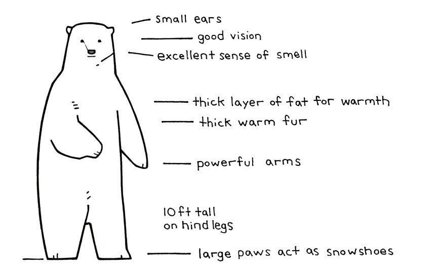 Illustrated Polar Bear Facts for Kids - studiotuesday