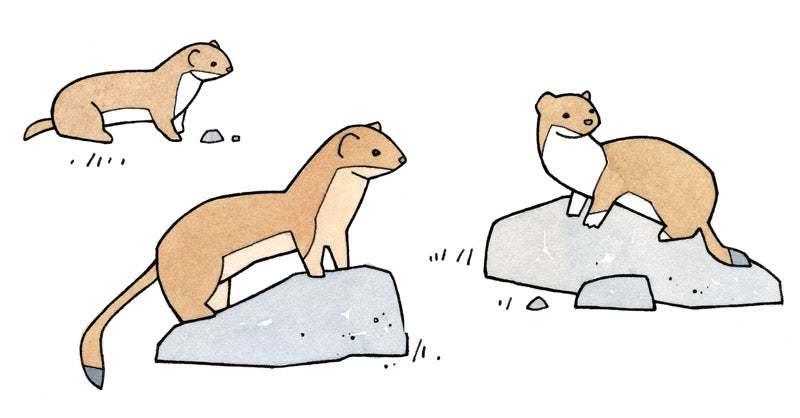 weasel species drawing