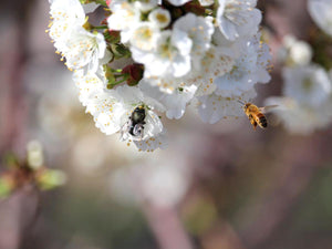 NEWS- CAPITAL PRESS - Plan Bee: How farmers are using native mason bees to boost crop production