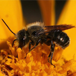 What are your mason bees doing?