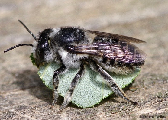 Learn about our summer leafcutter bees