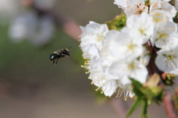 Latest Update On Mason Bees
