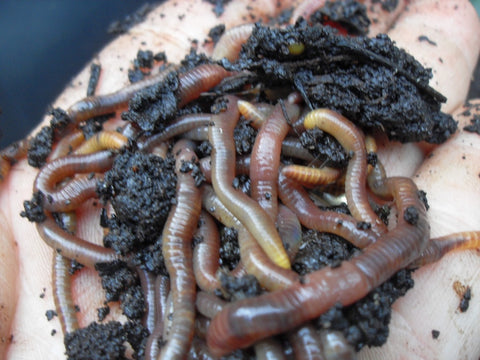 coffee grounds with worms
