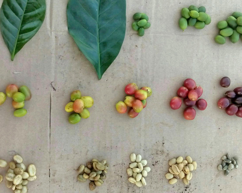 stages of coffee in Chiapas