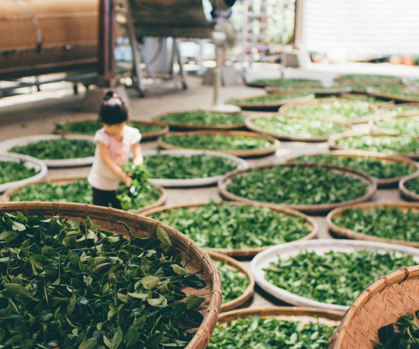 10 Different Types Of Green Tea You Need To Know About Big Flag Tea