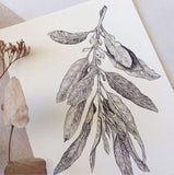 Hand illustrated and detailed look at a sprig of  the Wild Olive plant.