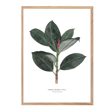 Print taken from an original watercolour featuring an illustration of an Indian rubber tree.i Strange.