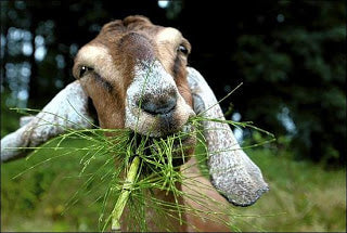 goat eating pine needles[1]