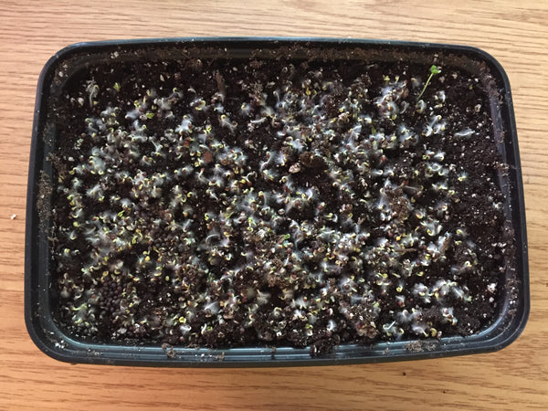 Culinary Microgreen Grow Kit - Broccoli