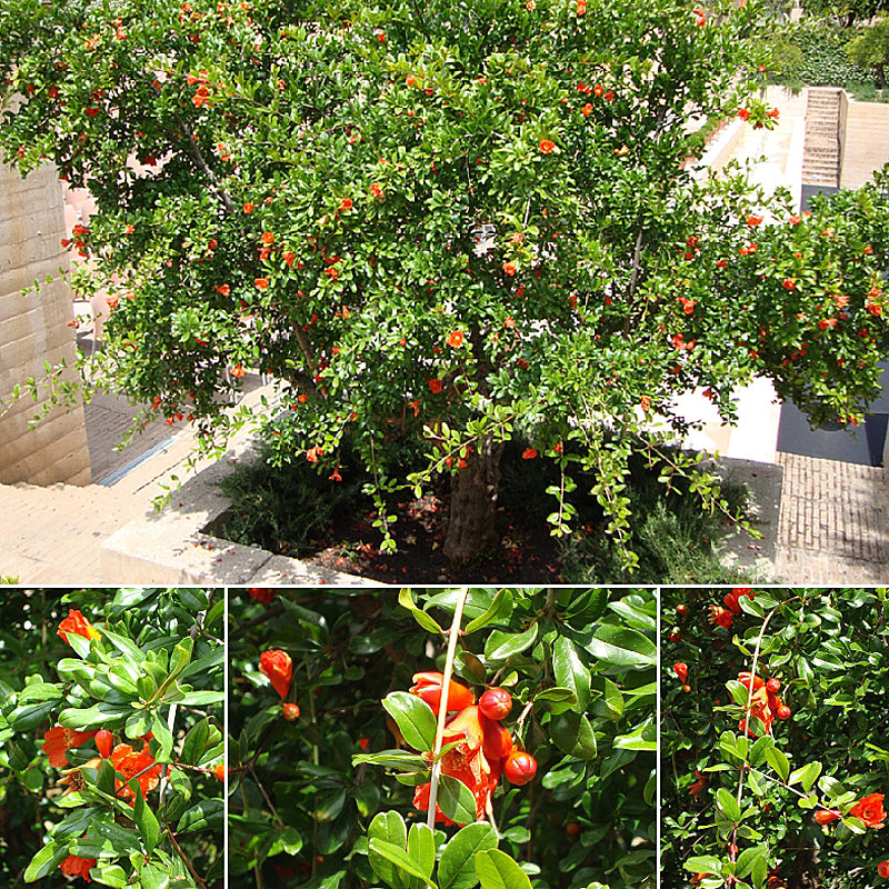 pomegranate-blog-goes-live-pomegranate-trees-at-alhambra