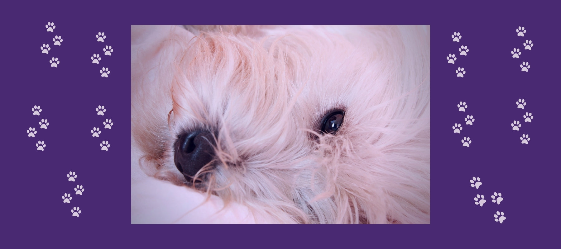 White dog of the bichon breed sleeping with one eye open