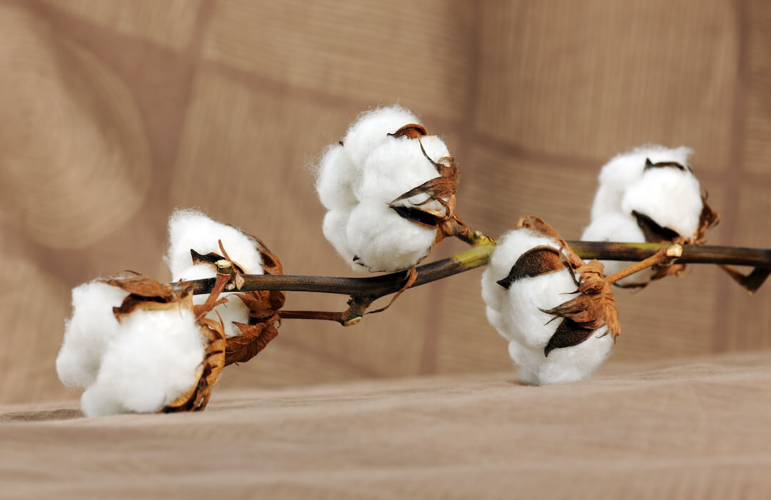 Cotton flowers placed on a bed sheet