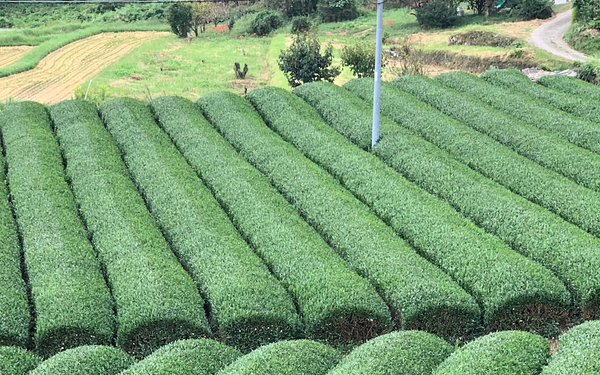 authentic matcha green tea farm in Japan with tea plants in rows ready for hand-picking