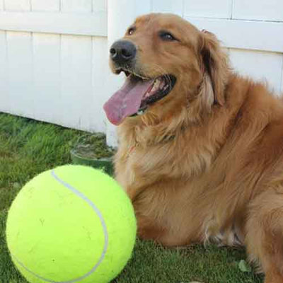 Golden retriever plays with a Giant Huge Tennis Ball For Dogs Pawsome Market