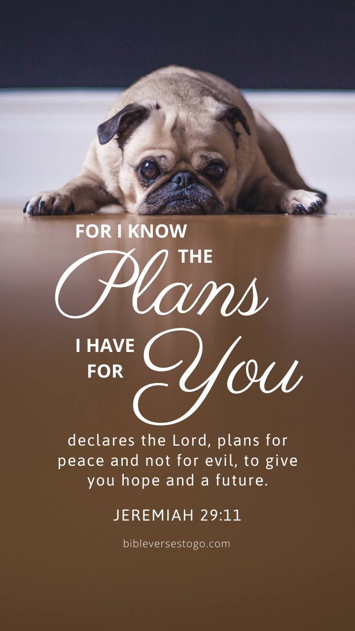 Christian Wallpaper - Pooped Pug Jeremiah 29:11
