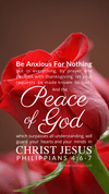 Christian Wallpaper – Red Rose Philippians 4:6-7
