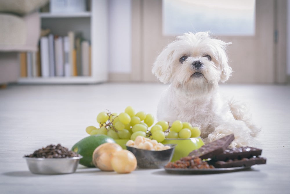 Dog with foods he cannot eat