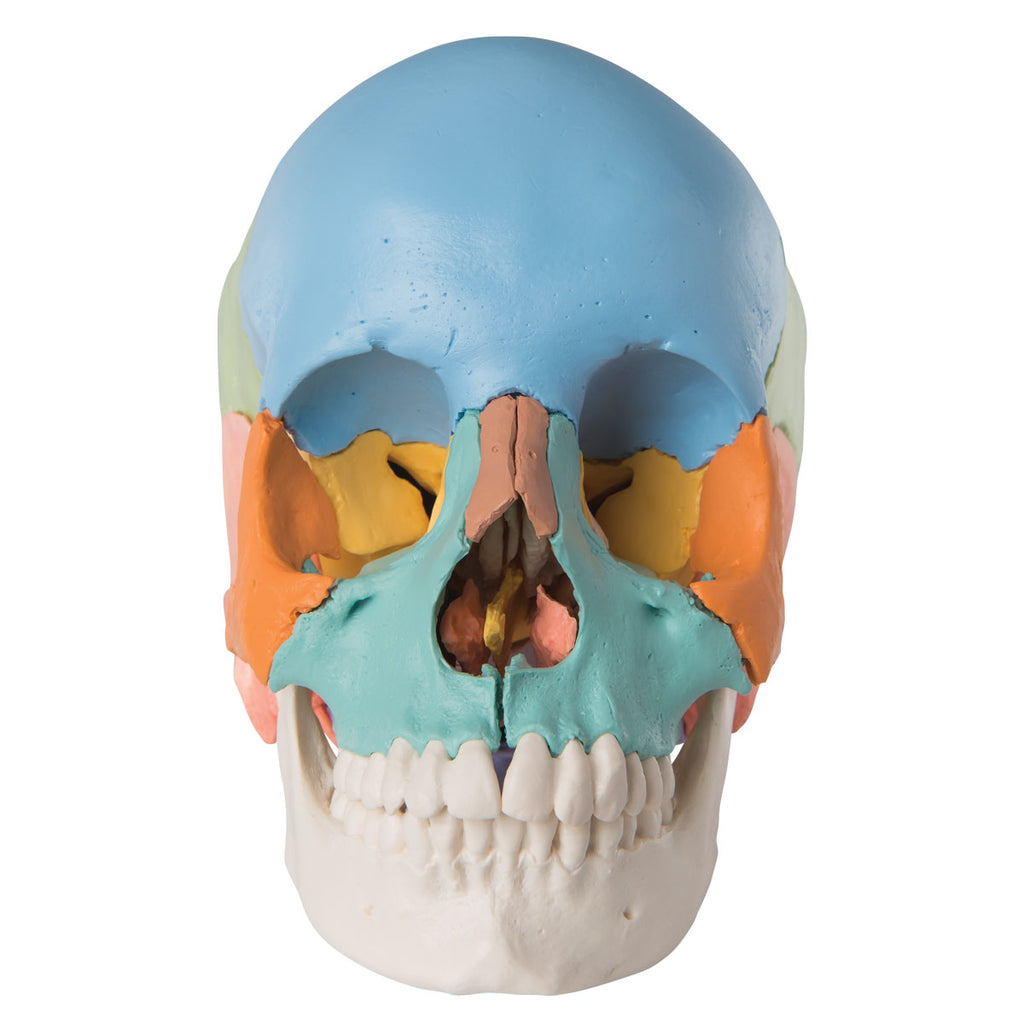 Beauchene Adult Human Skull Model - Didactic Colored Version