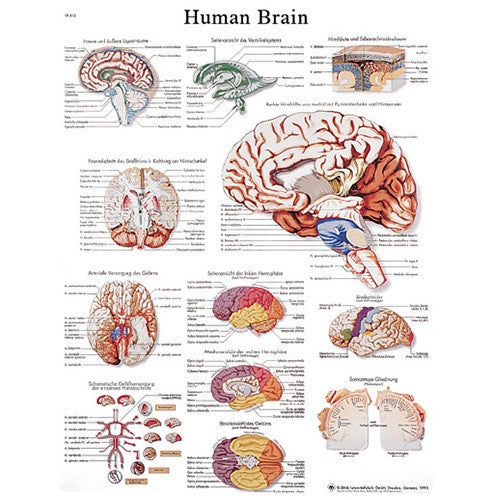 Anatomical Chart - Human Brain, Laminated