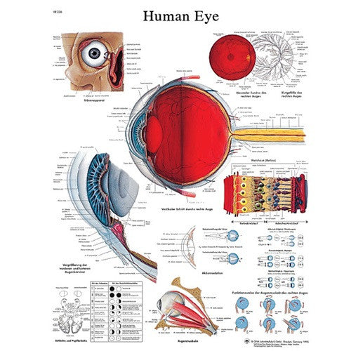 Anatomical Chart - Eye, Laminated