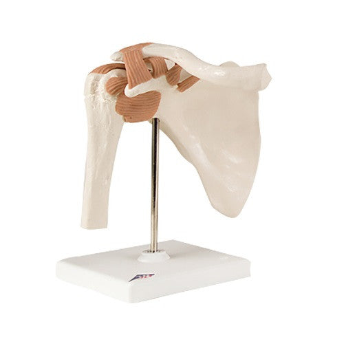 Anatomical Model - Functional Shoulder Joint