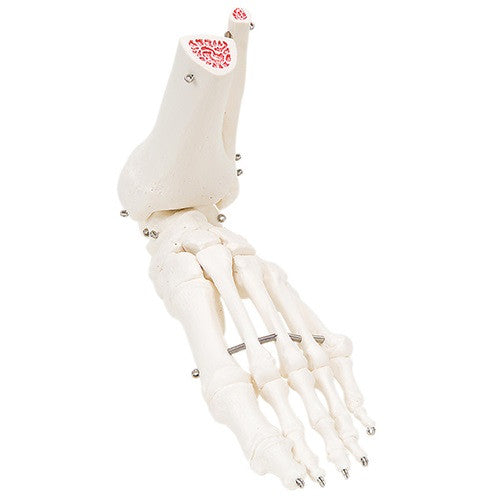 Anatomical Model -Foot Skeleton with Ankle | CeilBlue