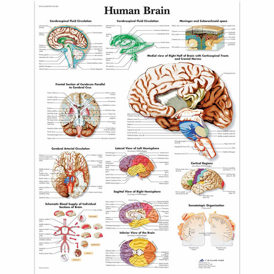 Human Brain Anatomical Chart